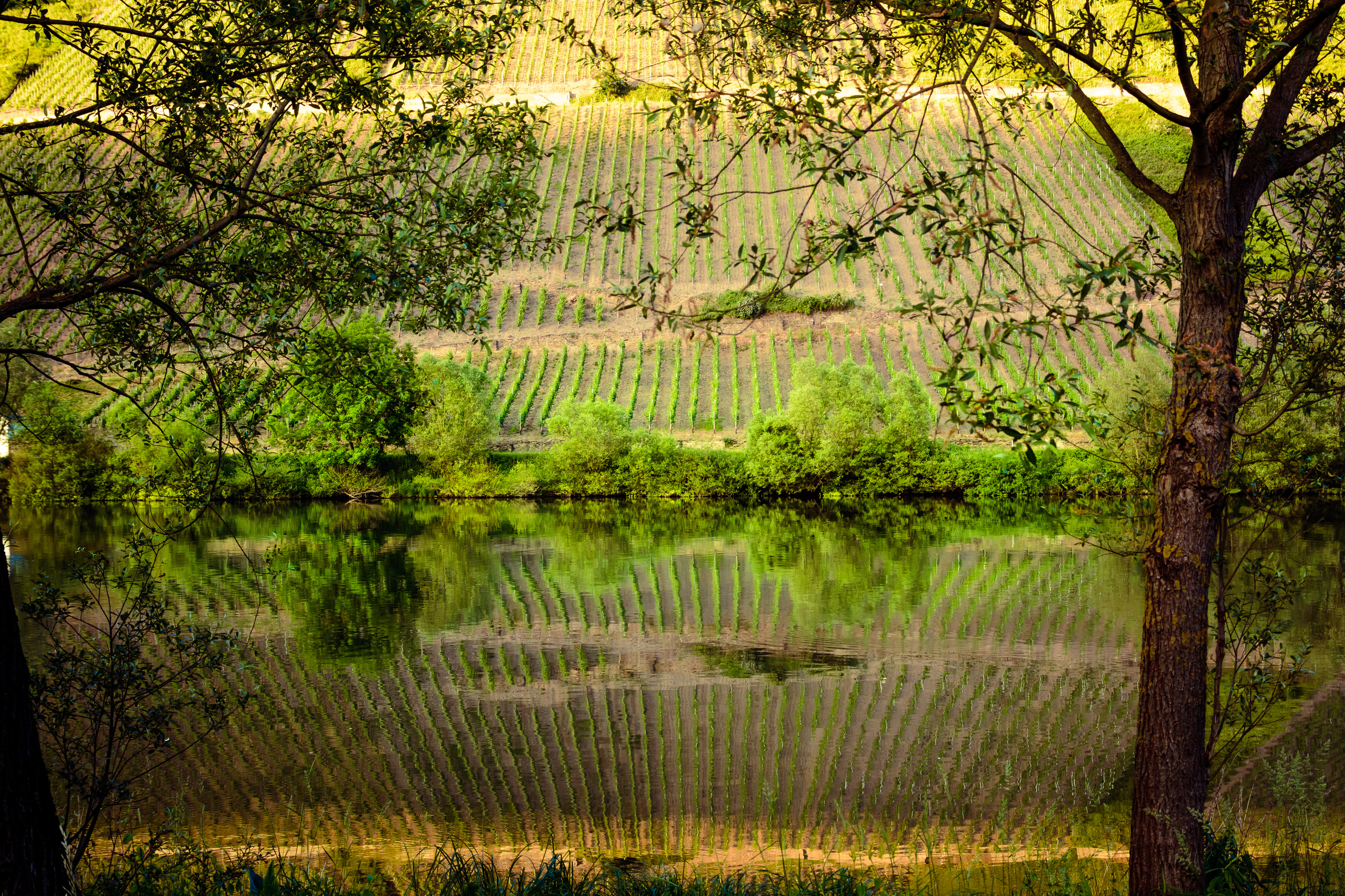 Vineyards reflecting in the moselle river, Germany